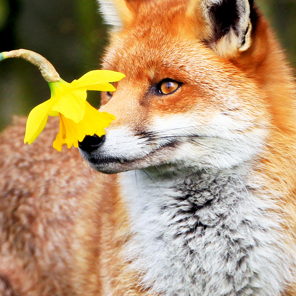 Foxes 008 hjvdrx