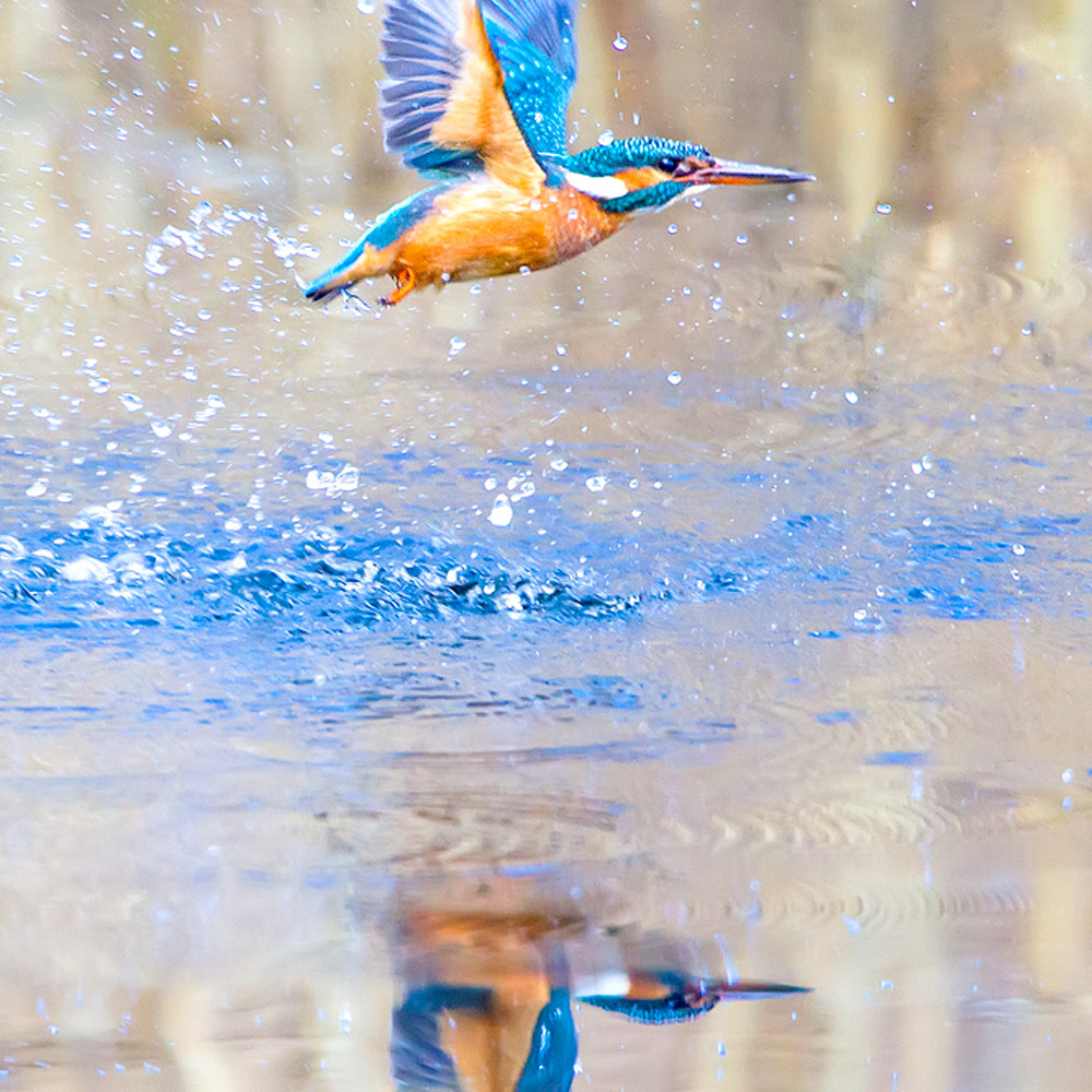 Kingfishers 005 pnqald
