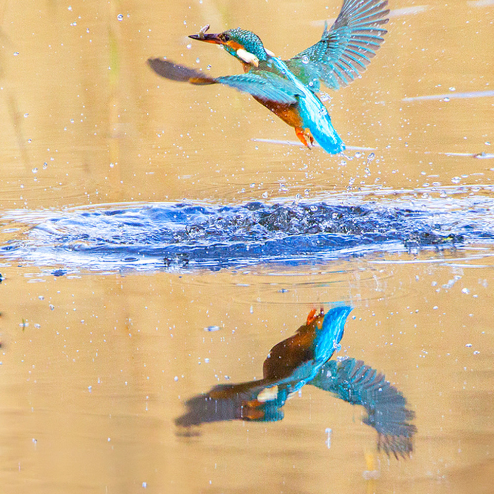 Kingfishers 017 rpseg6