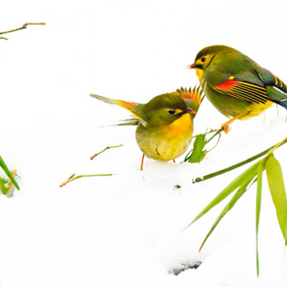 Pekin robins and chinese birds 003 chadq5
