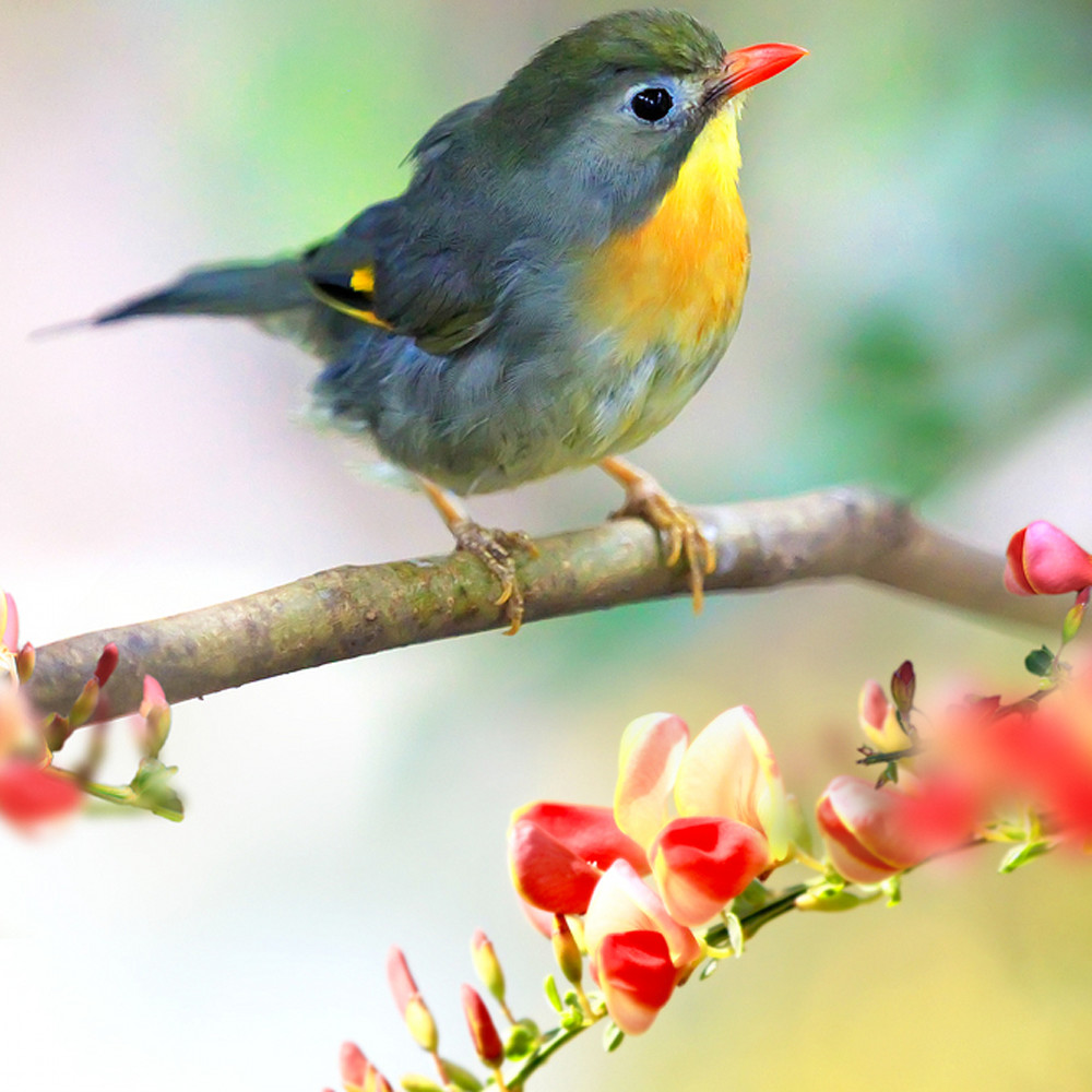 Pekin robins and chinese birds 002 k65pdm