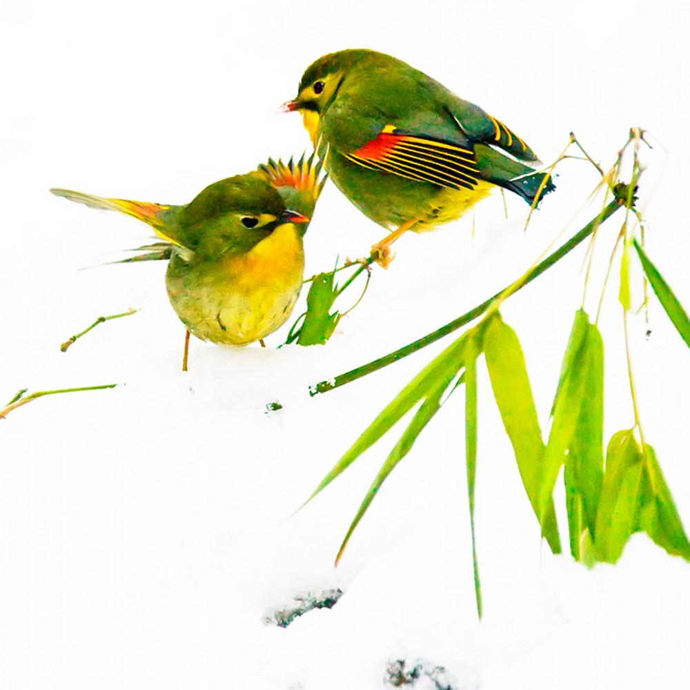 Pekin robins and chinese birds 006 pgnxn6
