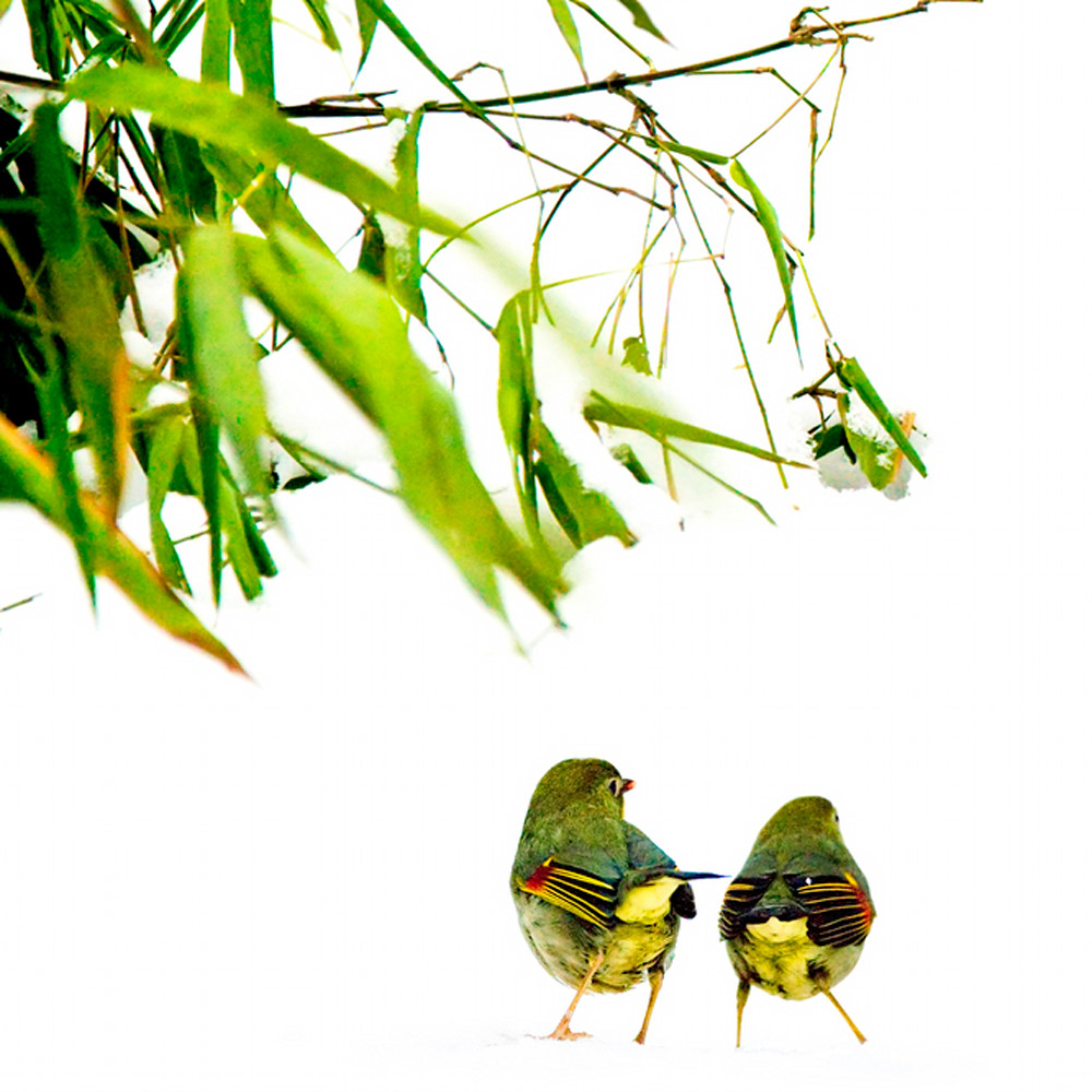 Pekin robins and chinese birds 007 xvypdh