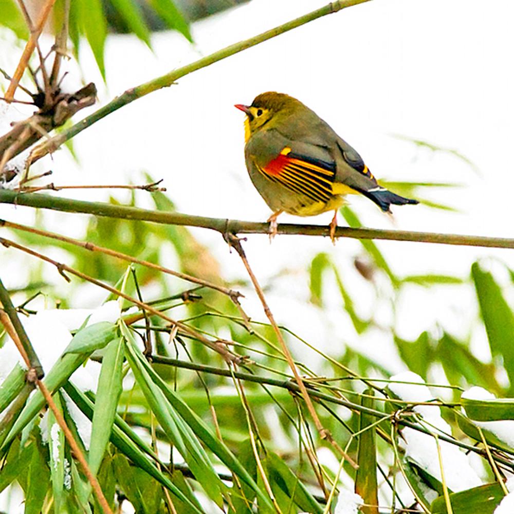 Pekin robins and chinese birds 009 kkevyb