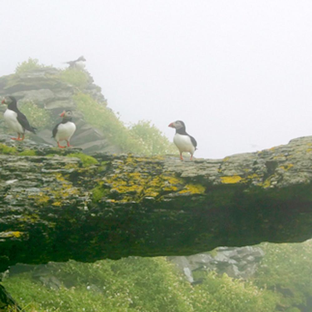 Puffins and sea birds 010 tssdnw