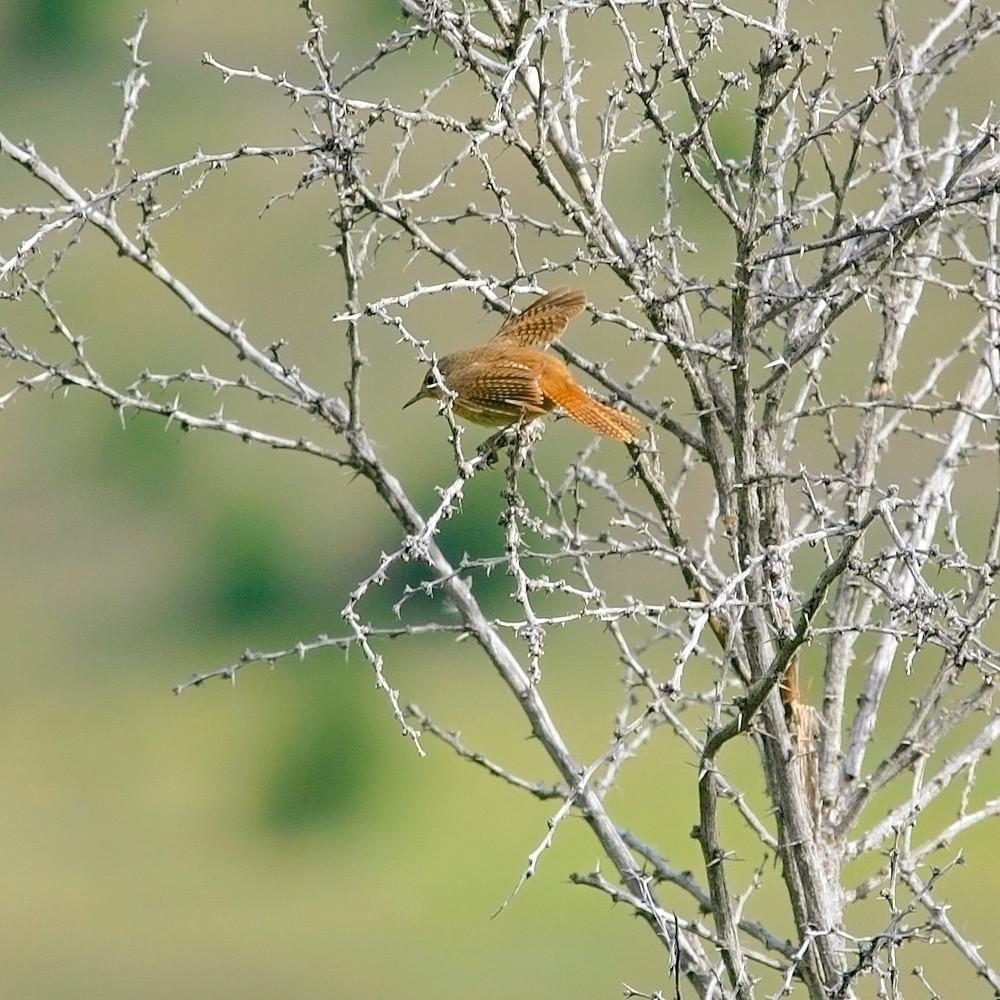South american birds 035 tslz89