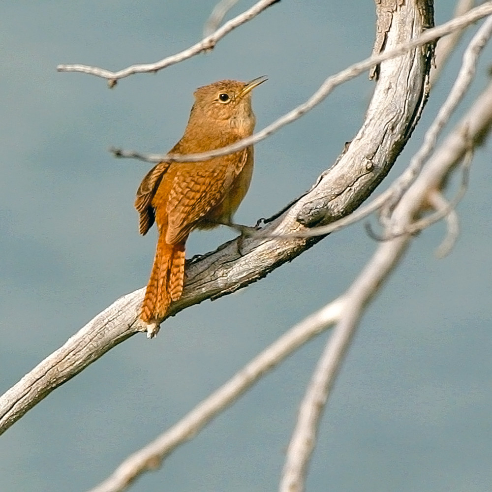 South american birds 037 c3ec0l