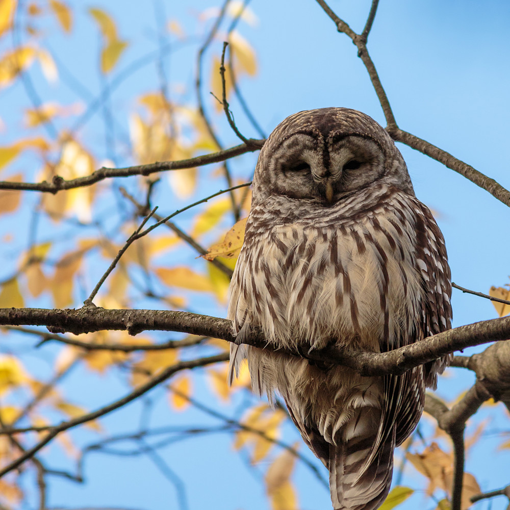 20161022 barred owl 00544 zhpa5c
