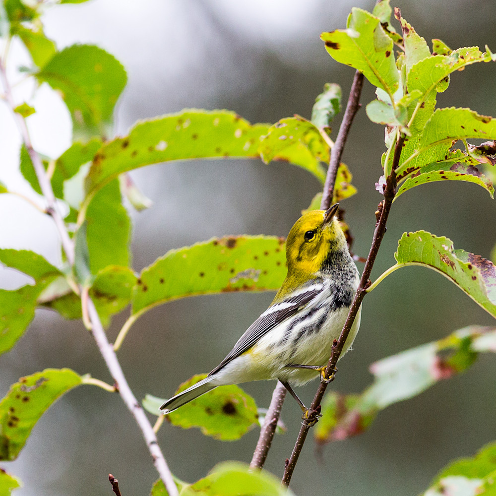 20140914 warblers 00201 ofpctv