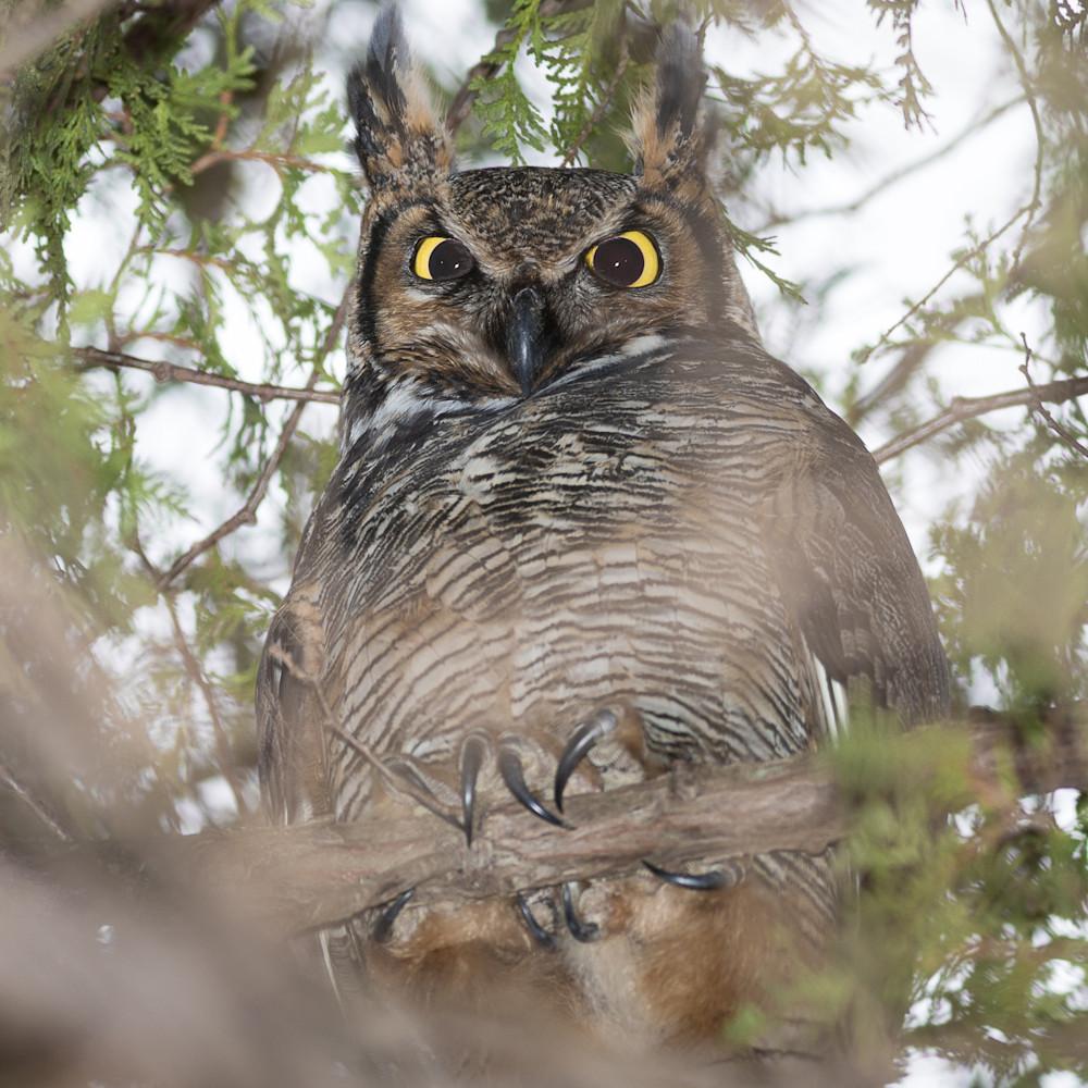 20151210 great horned owl 00011 uqnuge