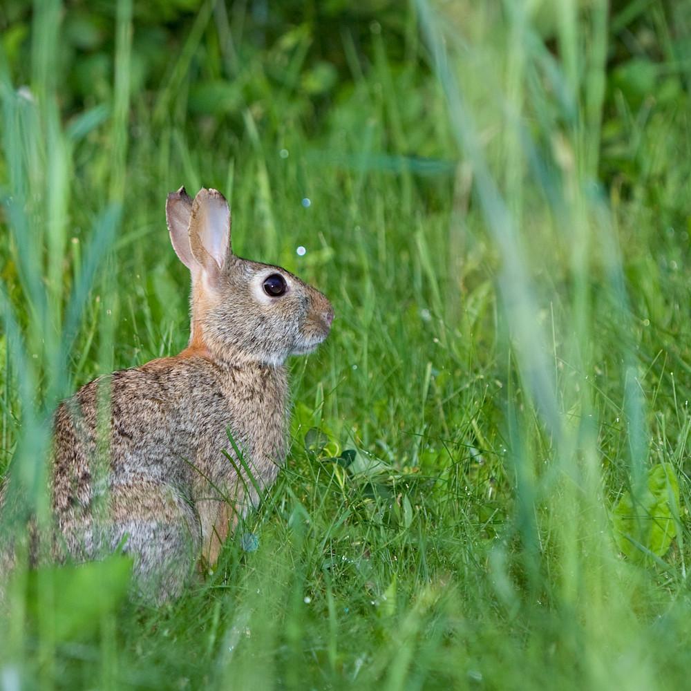 Cottontail rabbit 3410 gjddvl