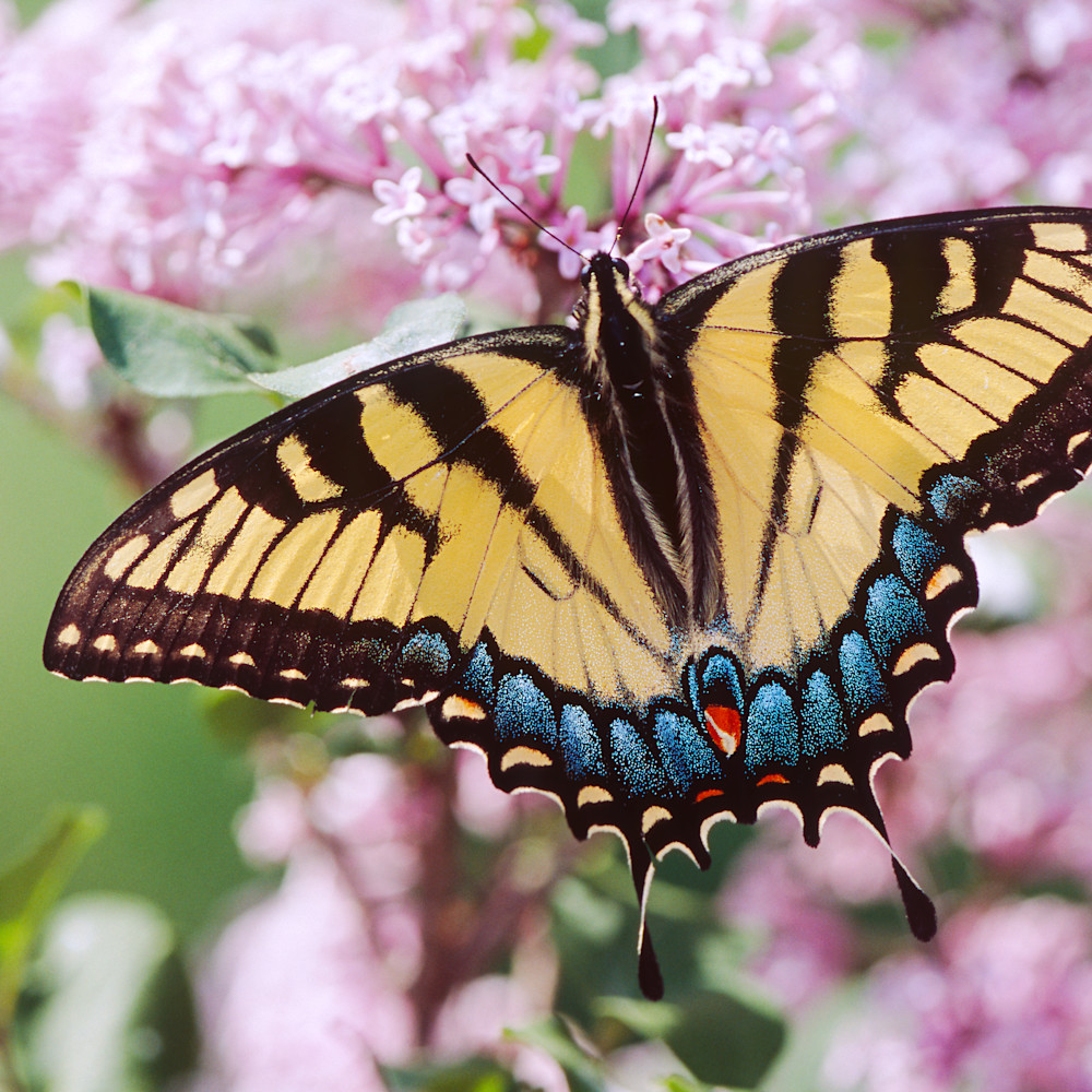 Swallowtail lilacs c34 osvh2s