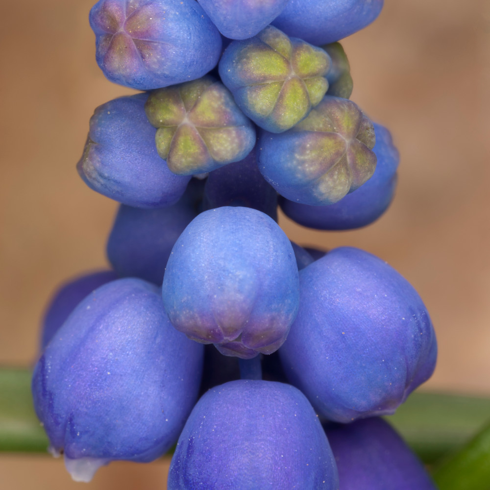 Grape hyacinth 19067 8 x28 rgzn78