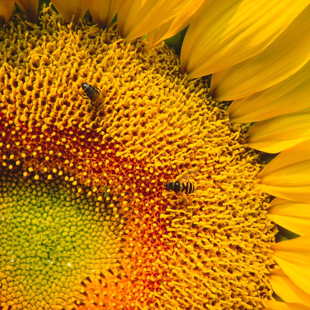 Busy sunflower db5tcf