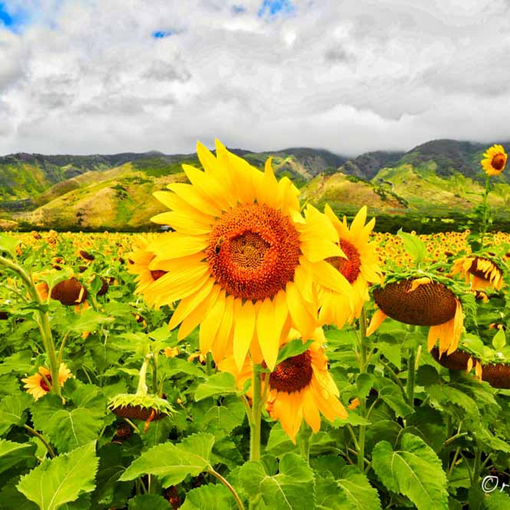 Beeing a sunflower sfnzti