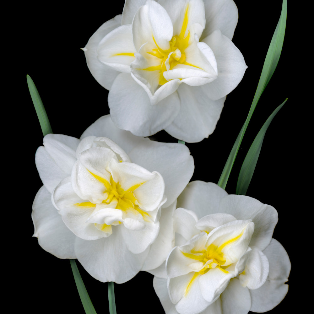 060403 ahern white daffodil trio 30x40x300 vzrtie