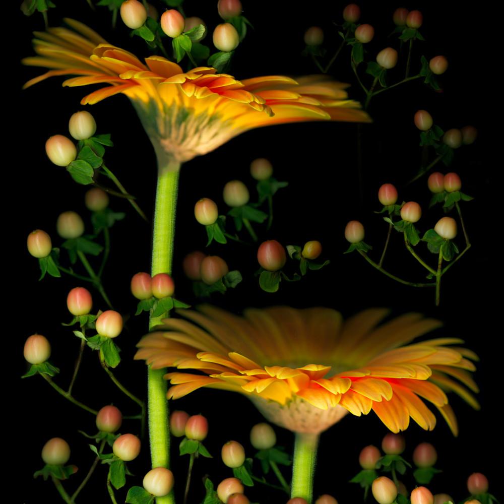 060503 ahern gerbera daisies w hypericum 30x40x300 powpic