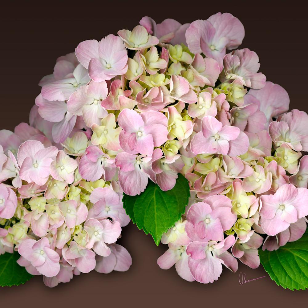060803 ahern pink hydrangea on brown bgd 30x40x300 aesquo