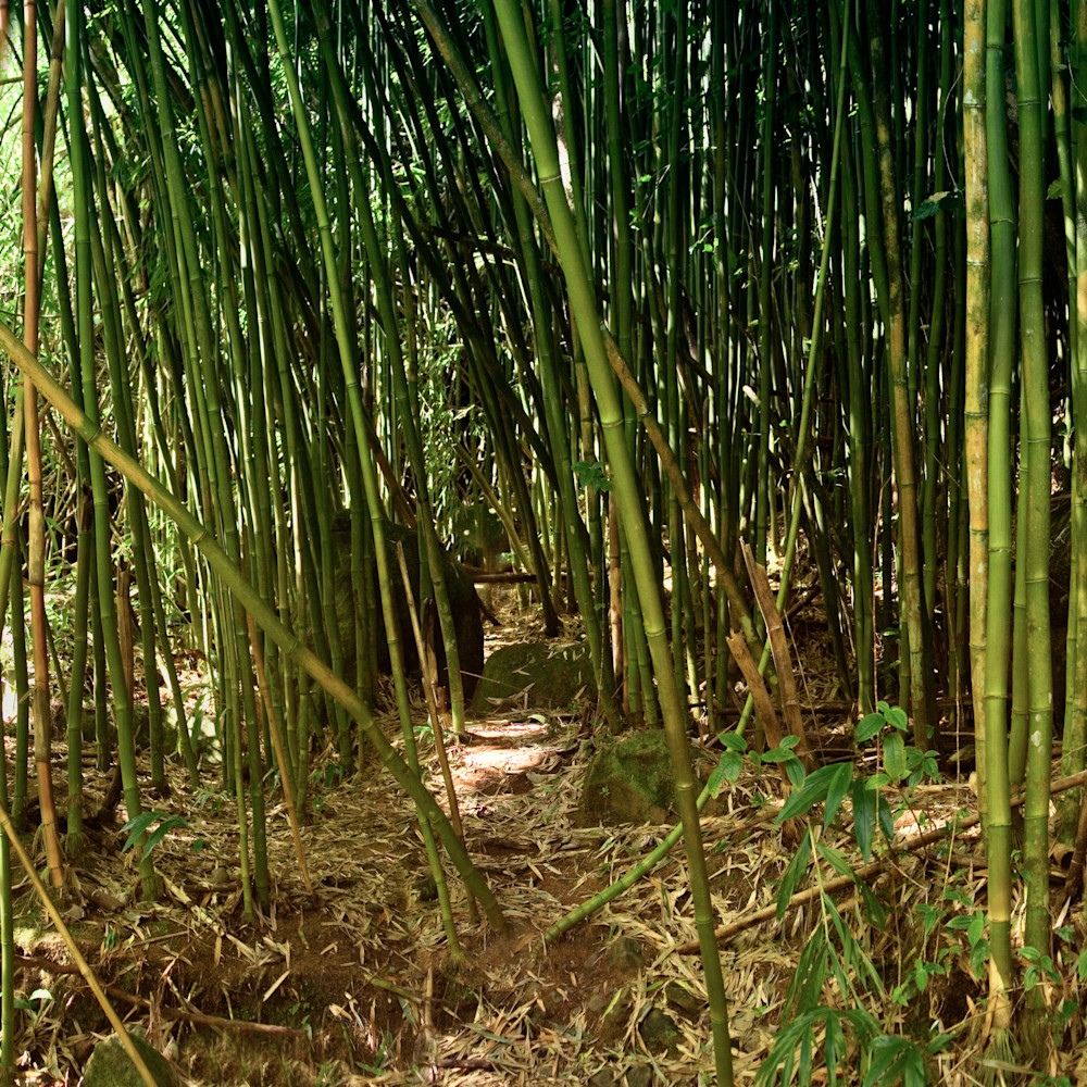 Bamboo forest pano semlcn