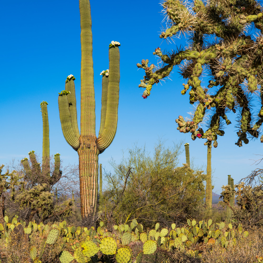 Dp566 flowering giant saguaro bi1vs3