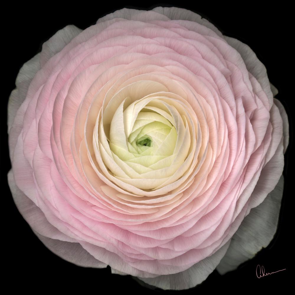 180503 ahern pink ranunculus squared 30x30x300 wgkt1r