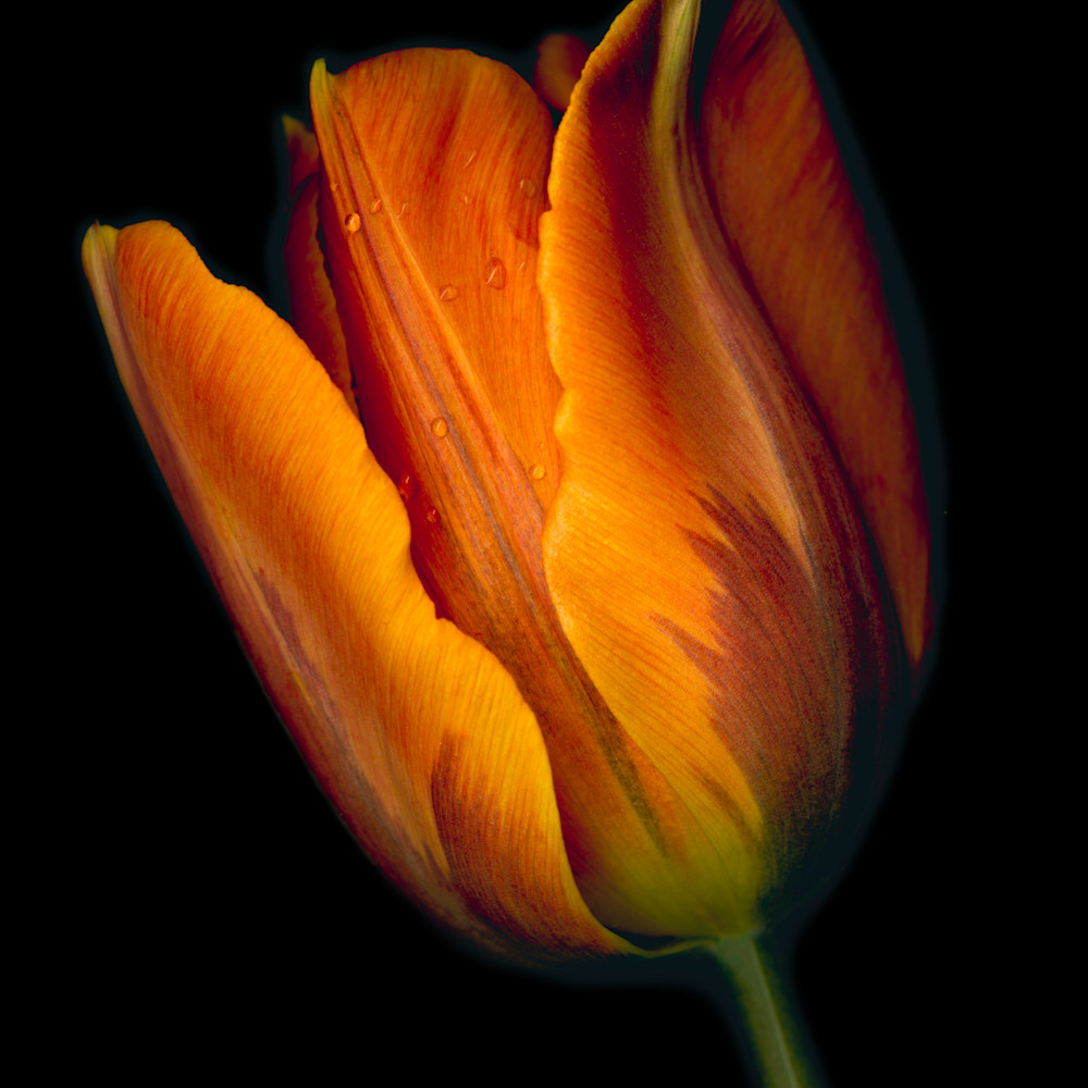 180506 ahern conversation orange tulip 2 30x40x300 nbob2u