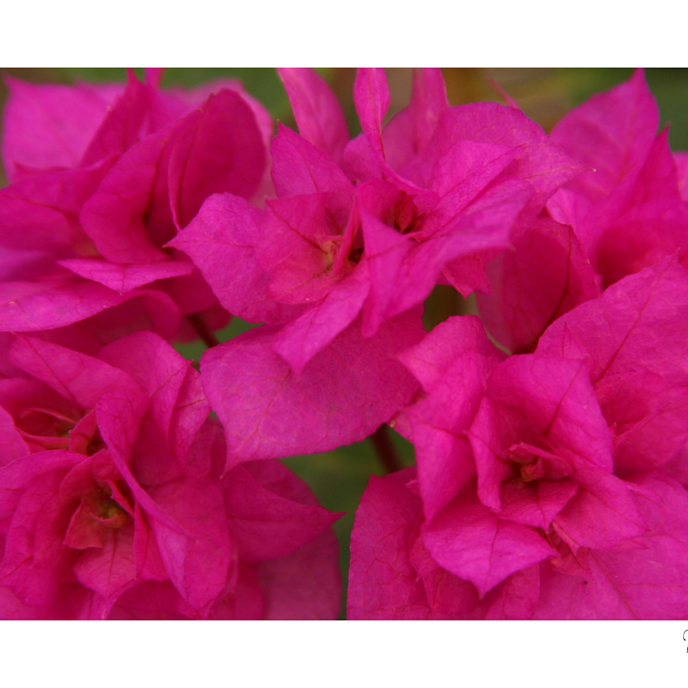Flowers pink passion  dhki8w