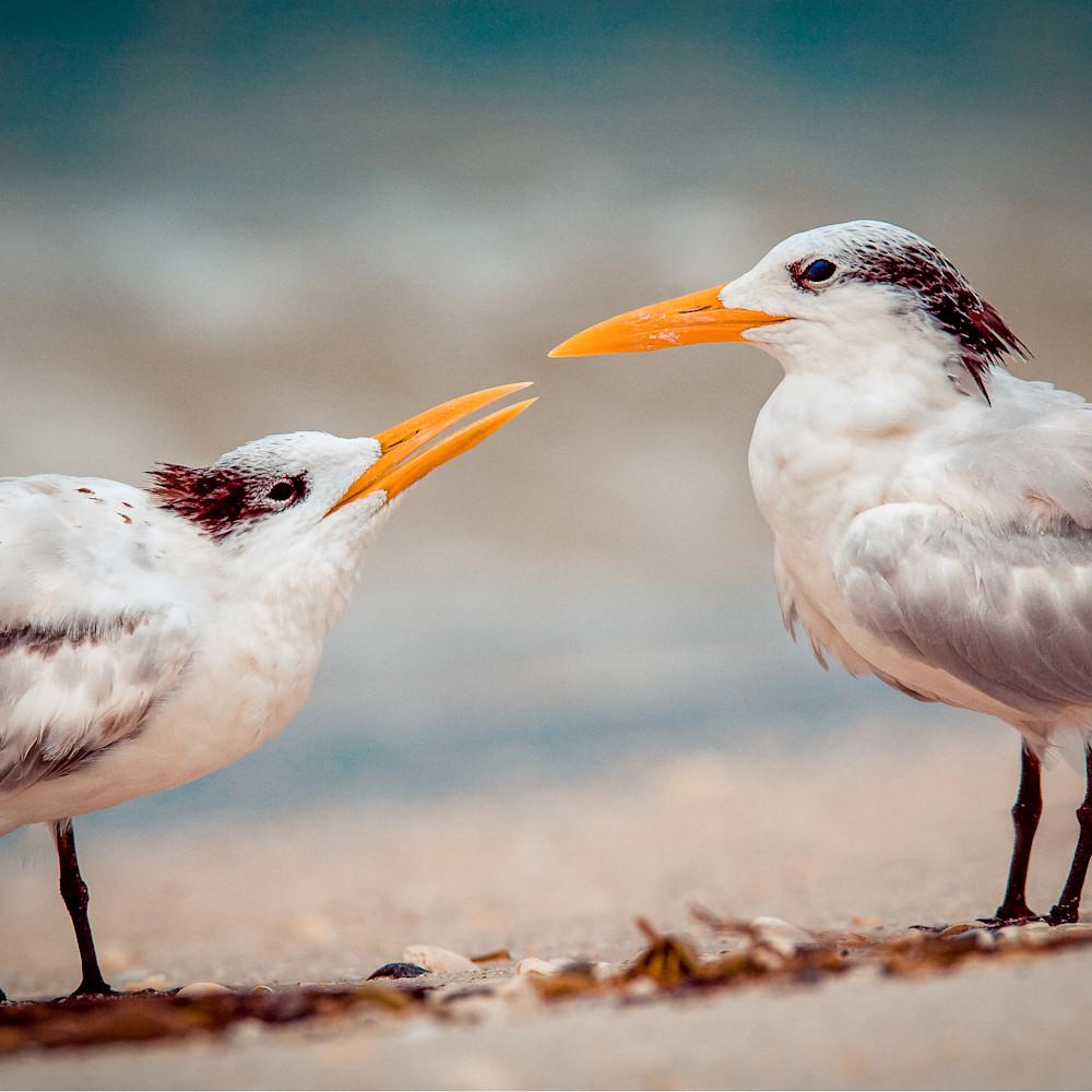 Gulls kissing 01 il88t9
