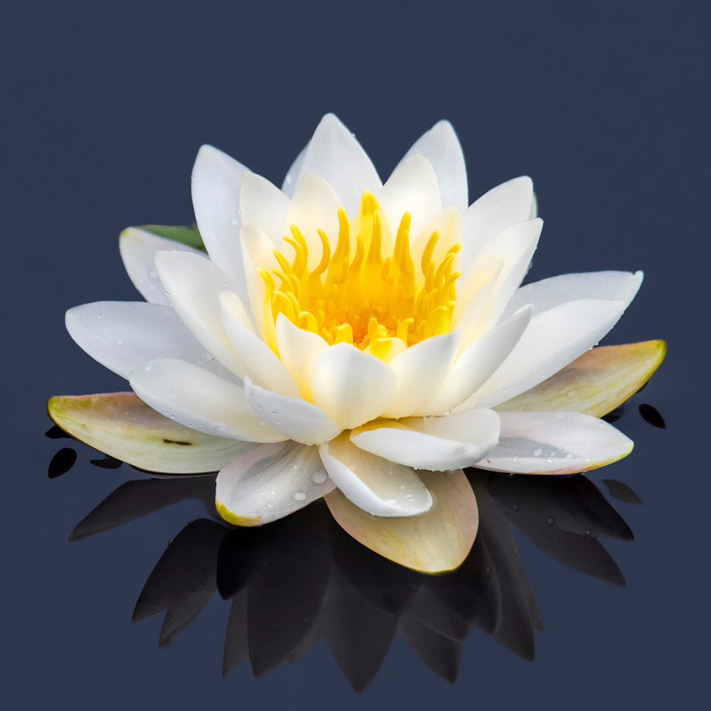 Water lilly  w723kb