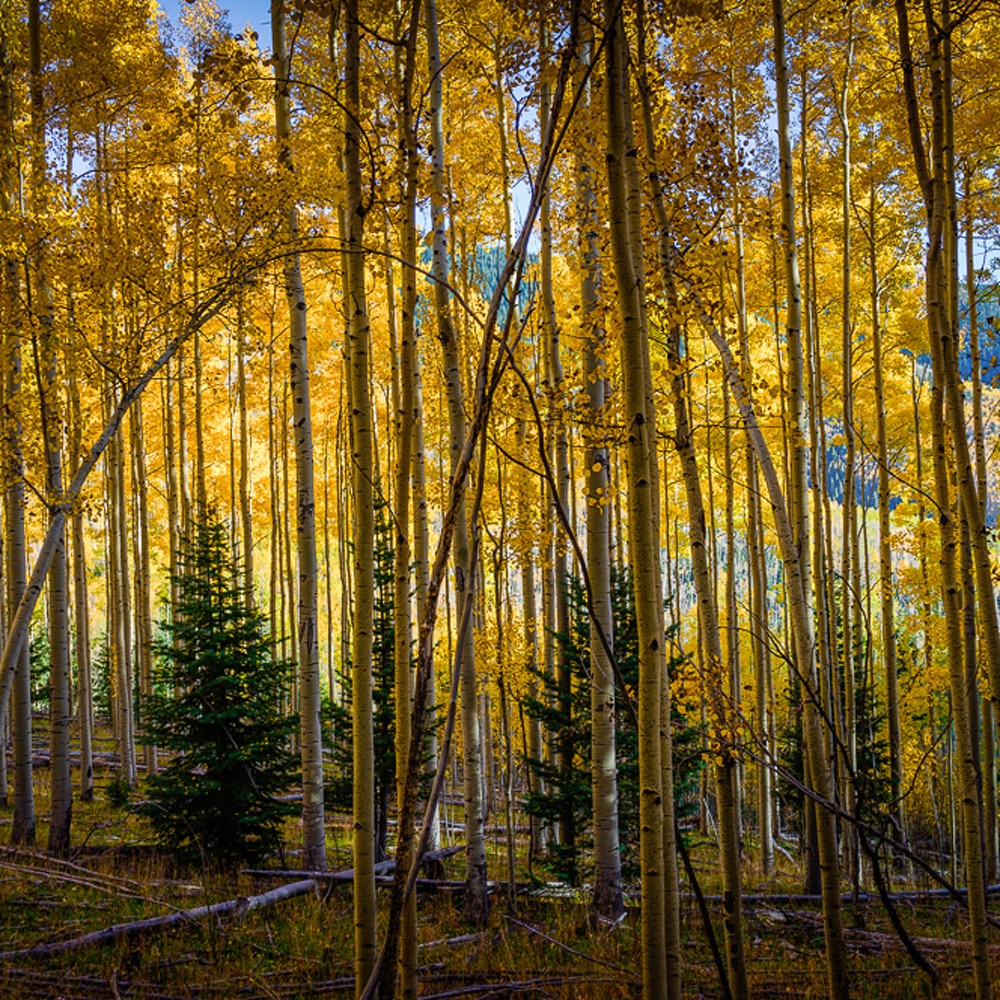 Aspen forest in autumn 2 wuxmfv
