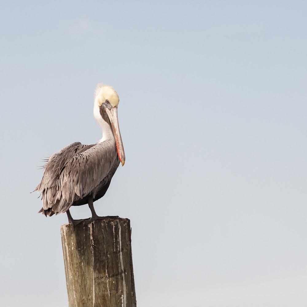Posing pelican ehmwuy