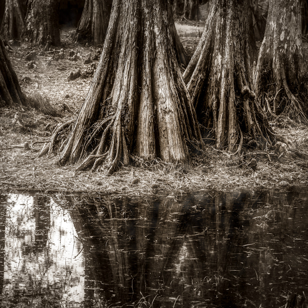 Andy crawford photography cypress trees 1216 1 gh1bfa