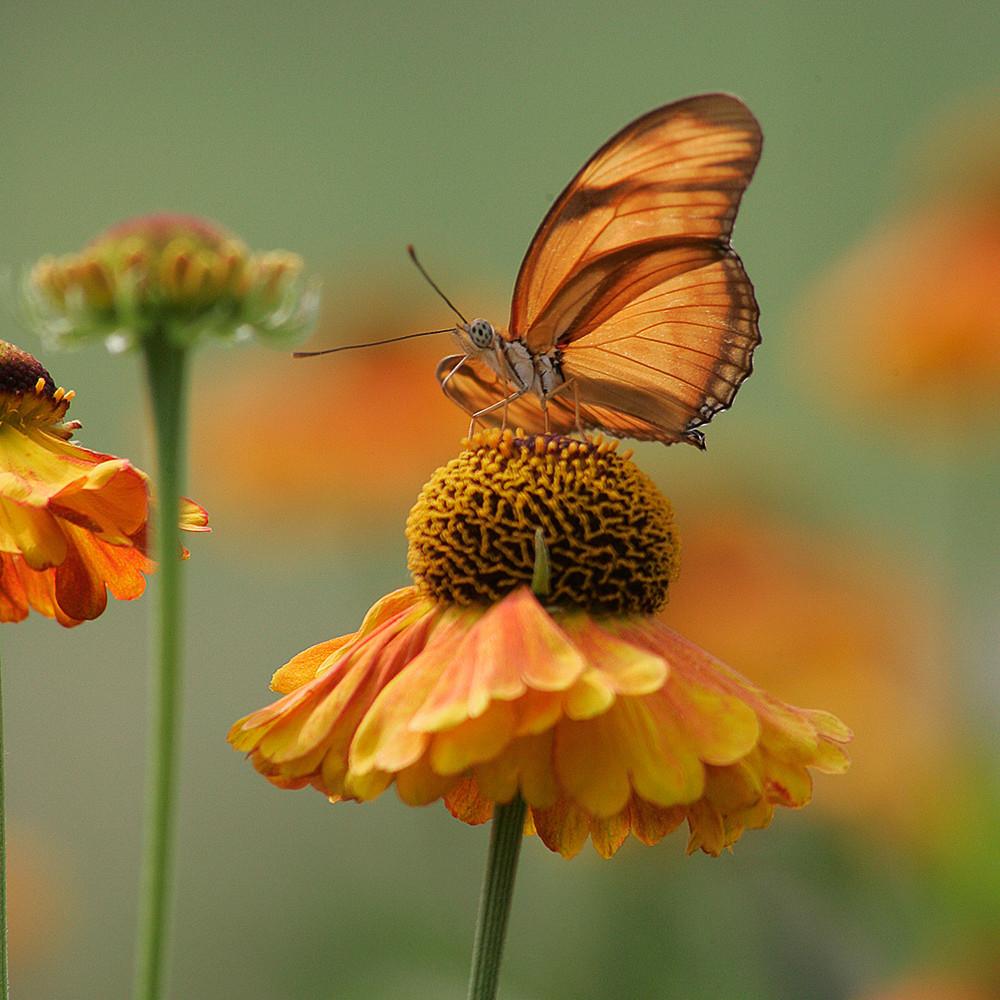 Butterfly julia v g6g0967 xjptkm