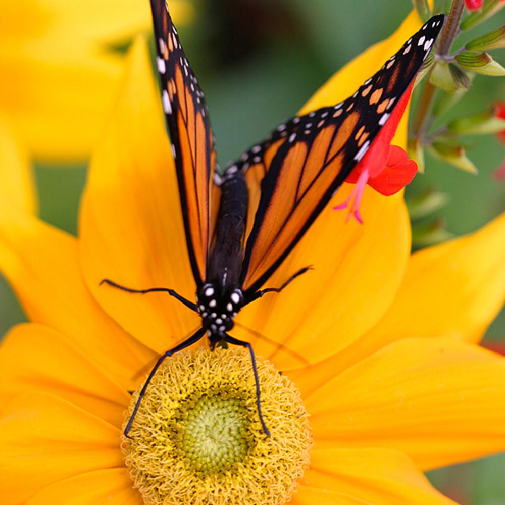 Butterfly   monarch img0639  tnox4x