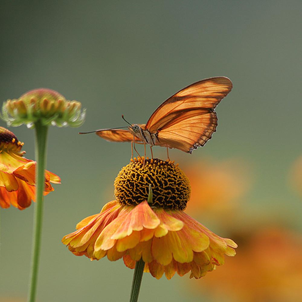 Butterfly   julia h g6g0963 eoujvk