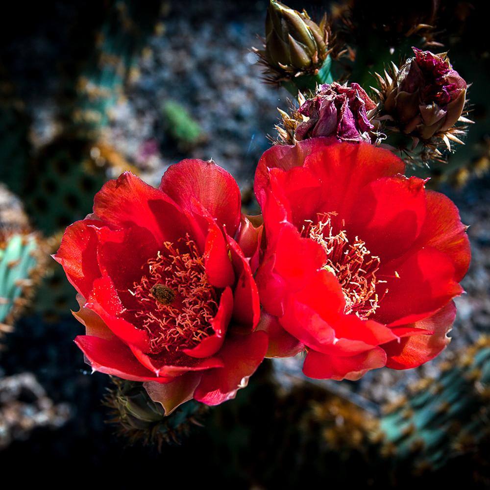 Cactus   red pair mg0918 laxudf