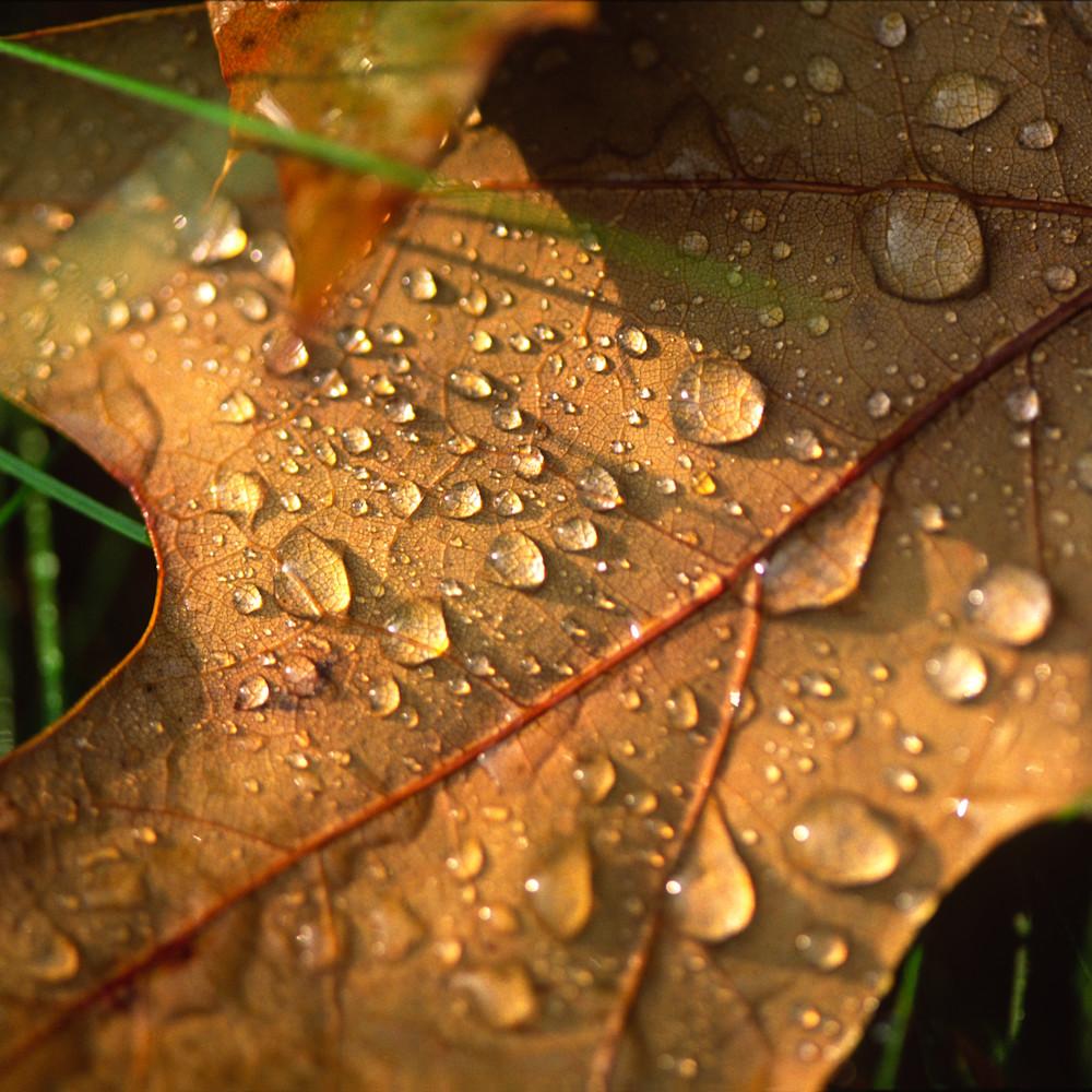 Dew oak leaf j105 lh5g9y