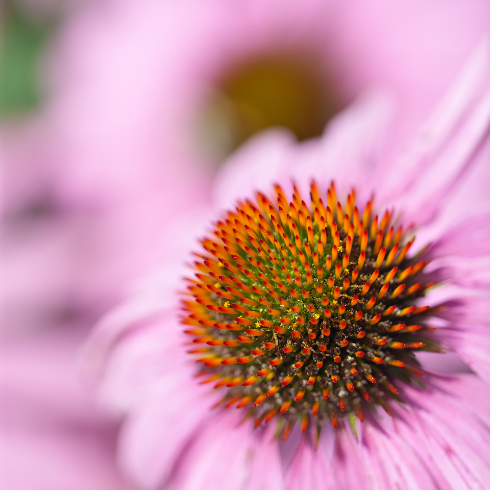 Pink coneflower 39033 cggncv