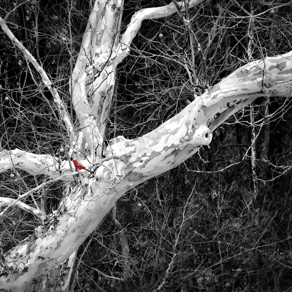 Cardinal and winters bones 17x24 2 11 2019 bw xoskee