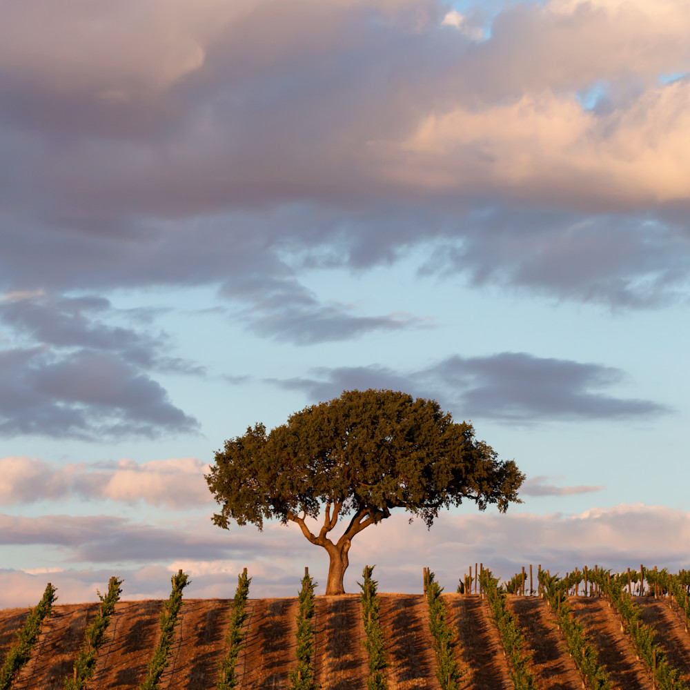 Lone oak sunset xqcwmk