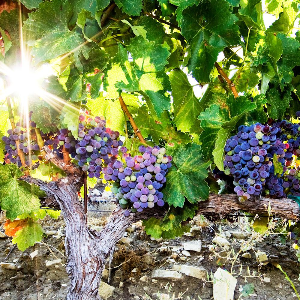 Vineyard sunburst clv5bf