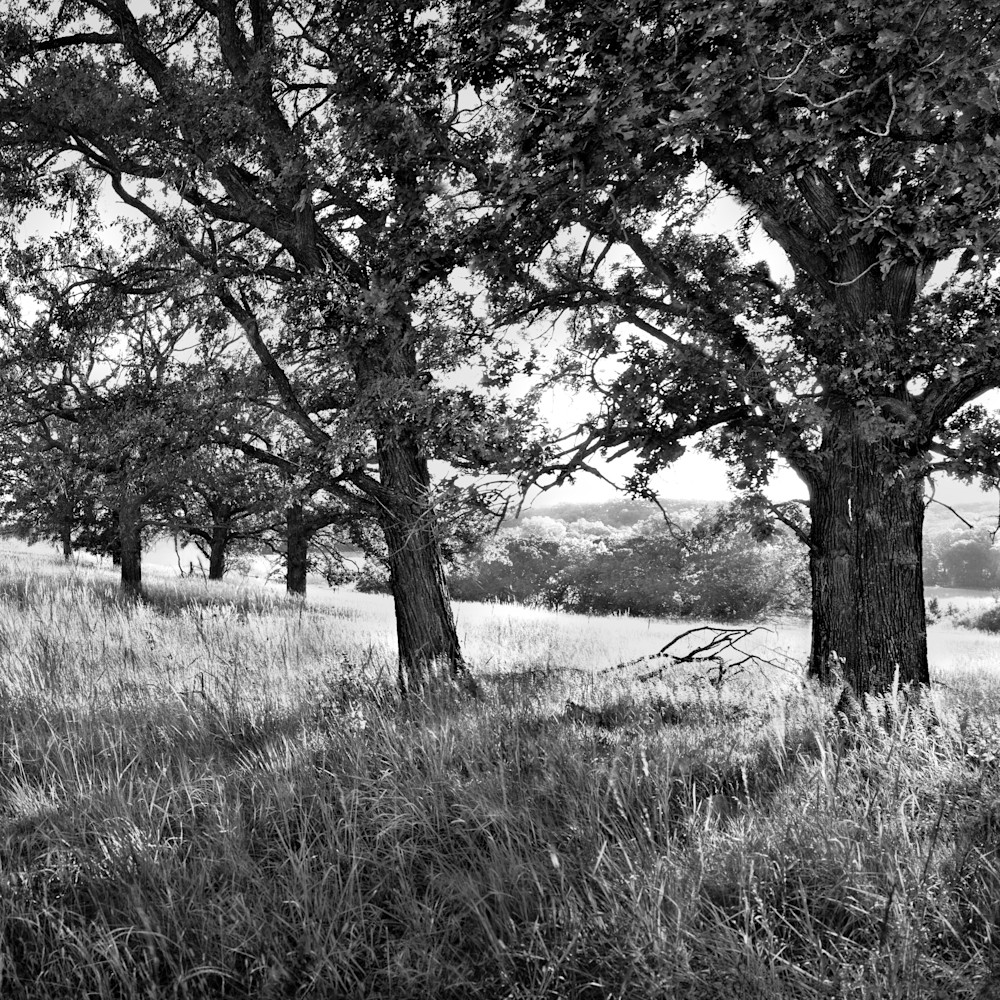 Pasture oaks near rossville kansas bw 70 inch 3 18 2019 is3gii