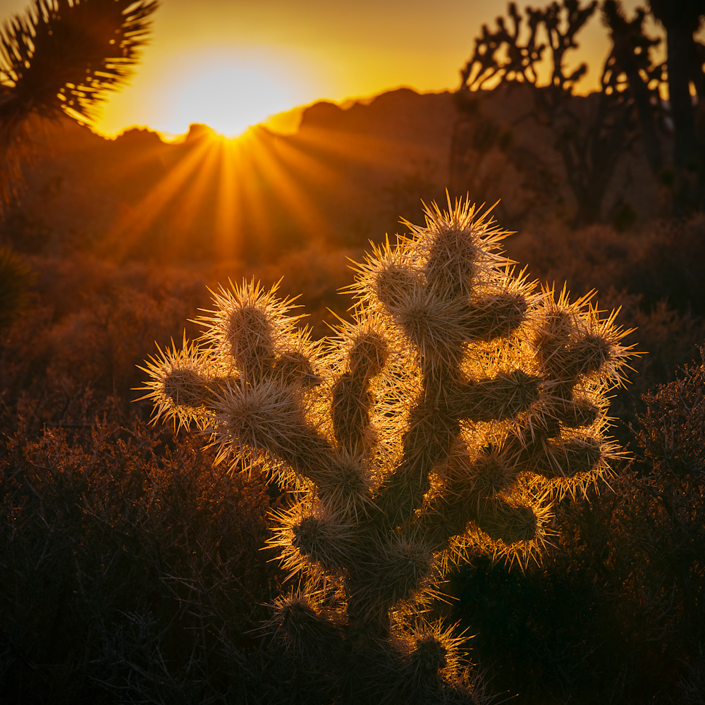 Cactus sunrise asf try2sy