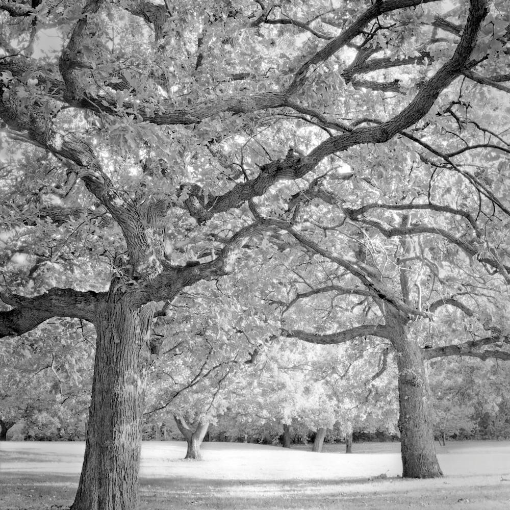 Oaks in the park sharpen edit yzdmcd