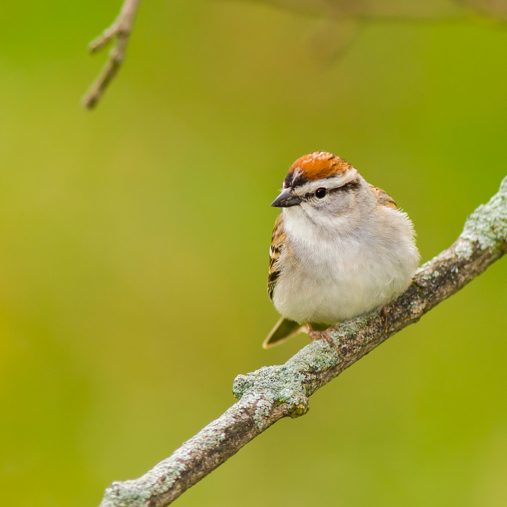 Chipping sparrow 1621l d8bypm
