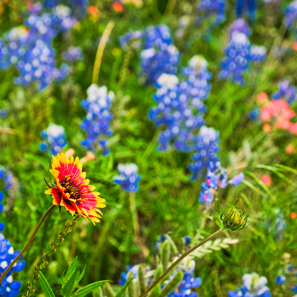 Bluebonnets and orange flower cywvgg
