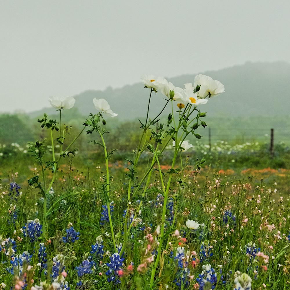 Bluebonnets and white flowers 1 colorful uxlfbc