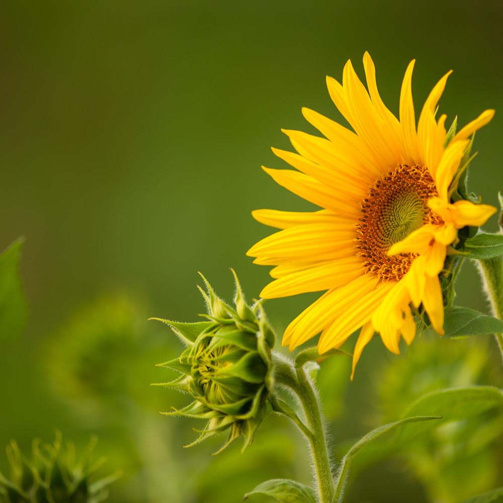 Sunflowers 29509 edit bqqzz6