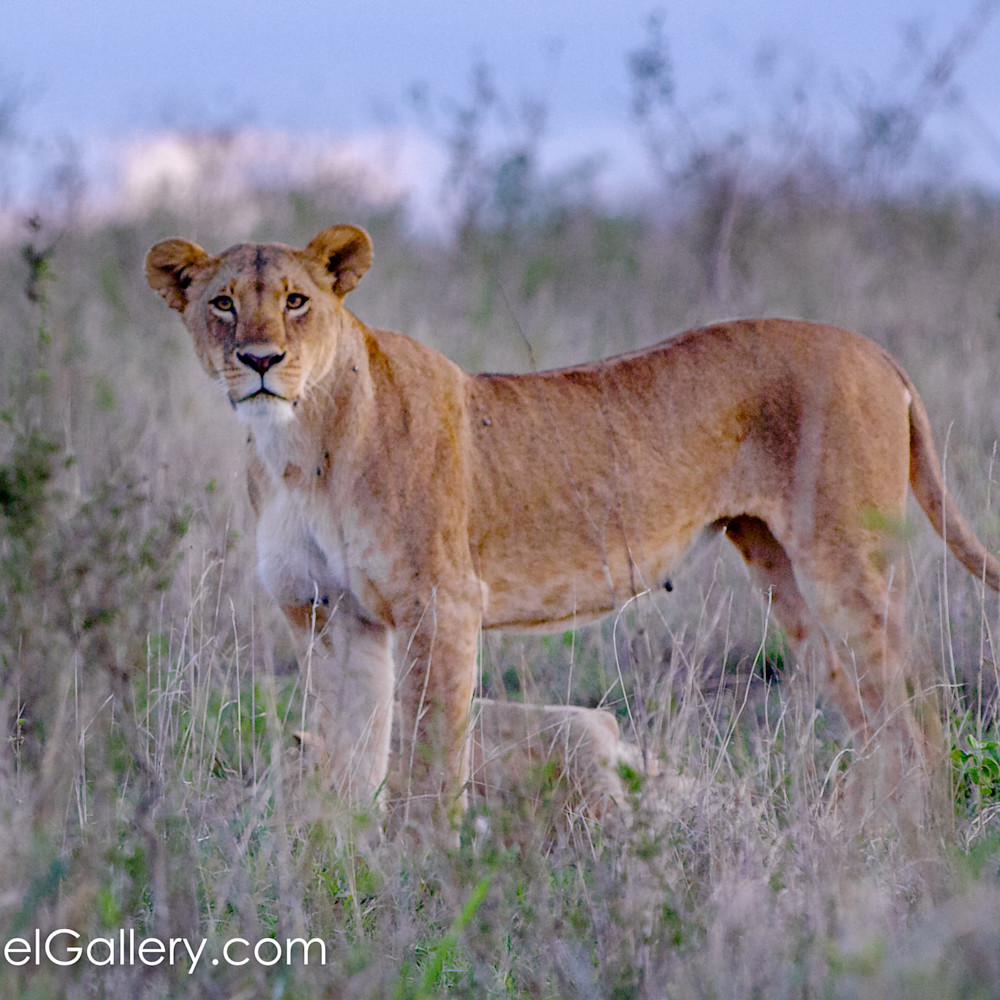 Gaze of the lioness canc2m