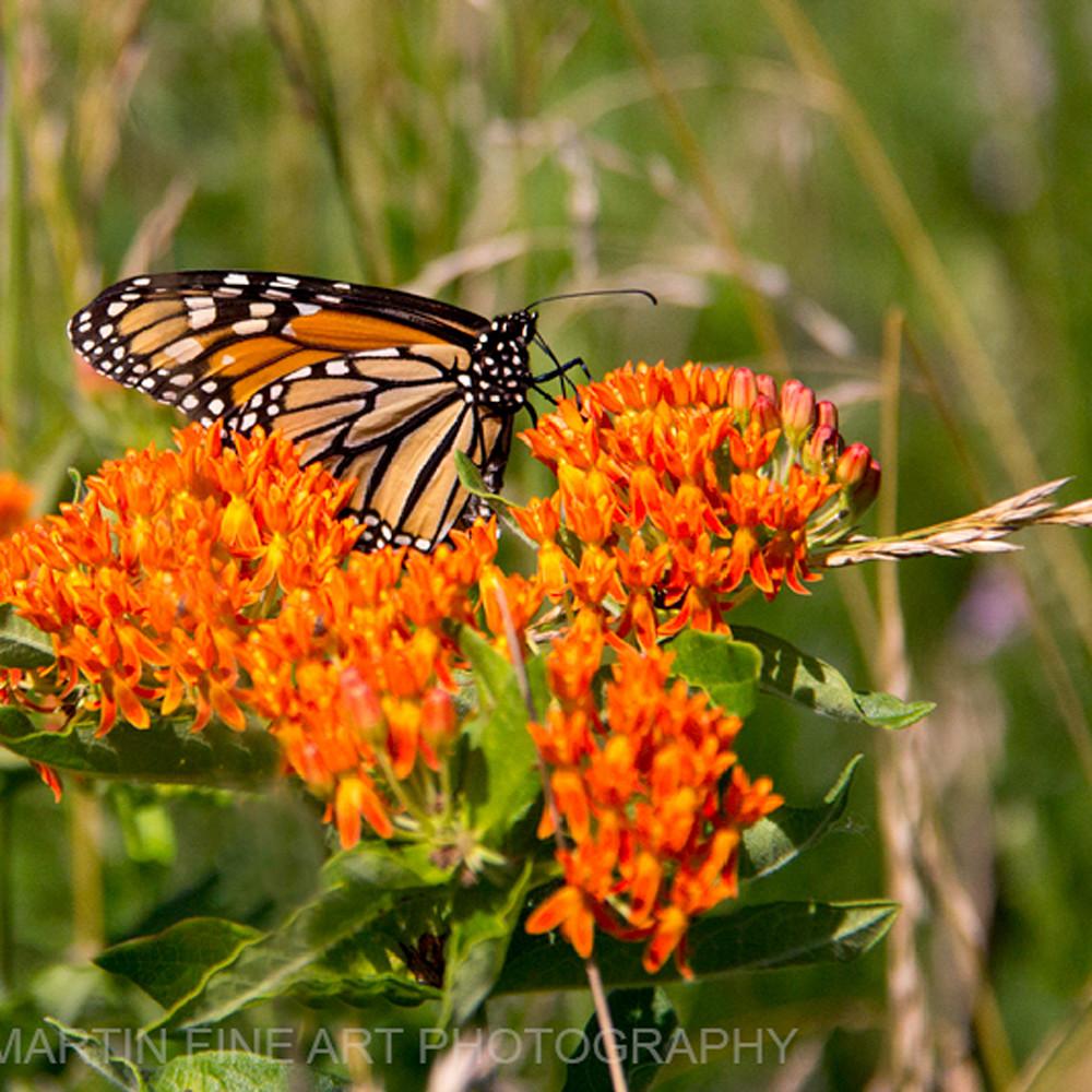 Monarchbutterfly milkweed 5148 c si49ic